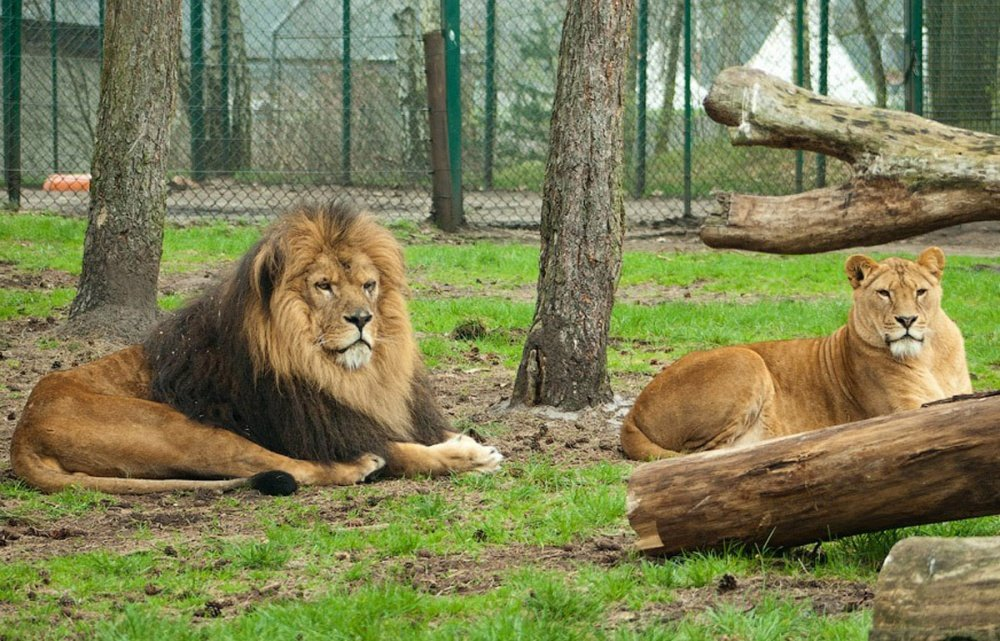 львы и еще 83 вида животных
