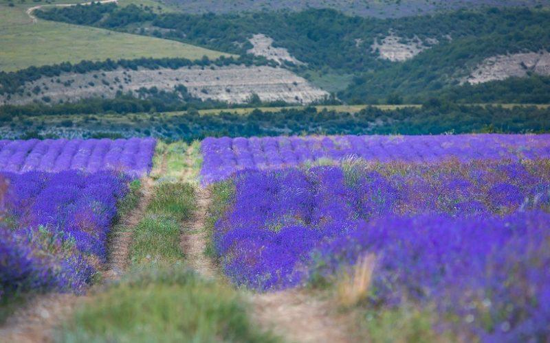 Лавандовые поля — фиолетовое безумие
